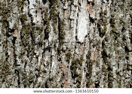 Bark of an old tree with moss on it close up. Tree bark background #1363610150