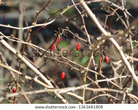 Abstract image of the branches and berries of barberry in late autumn. #1363681808