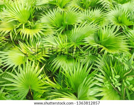 Saw palmetto extract is an extract of the fruit of the saw palmetto. Scientific name :  Serenoa repens. Higher classification : Serenoa #1363812857