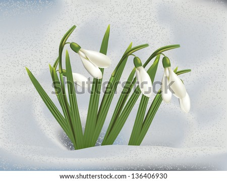 First spring flowers snowdrops in snow background. #136406930