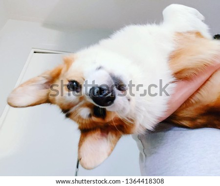 this animal is very small and fulfilled, called pembroke corgi dog. #1364418308