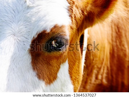 Close up of cow head and eye #1364537027