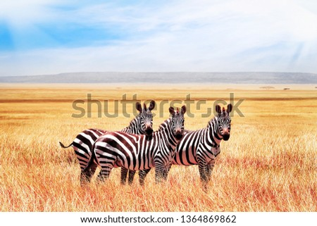 Group of wild zebras in the African savanna against the beautiful blue sky with clouds. Wildlife of Africa. Tanzania. Serengeti national park. #1364869862