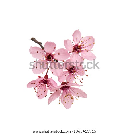 Blossoming branch with pink Cherry blossom flowers. Single spring tree branch with flowers and buds, isolated on white background. Stick tree branch from nature for design. #1365413915