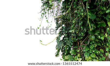 Split-leaf philodendron Monstera and variegated leaves Devil's ivy pothos liana plants climbing on tree trunk, tropical forest plant jungle bush isolated on white background with clipping path. #1365512474