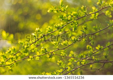 Branches with young leaves in the evening backlight with wonderful bokeh. abstract natural backgrounds with green foliage and beauty bokeh. #1365516236