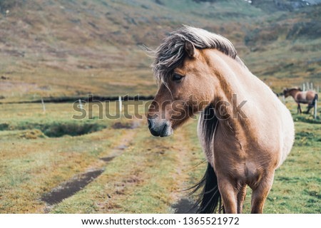 Icelandic horse in the field of scenic nature landscape of Iceland. The Icelandic horse is a breed of horse locally developed in Iceland as Icelandic law prevents horses from being imported. #1365521972