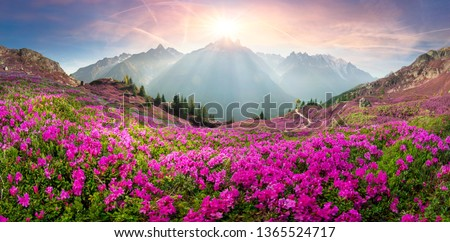The sharp Alpine peaks of Mont Blanc with snow and glaciers soar above the spring meadows, where rhododendrons bloom - delicate fragrant spring flowers #1365524717