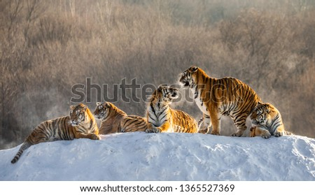 Several siberian (Amur) tigers are standing on a snow-covered hill and catch prey. China. Harbin. Mudanjiang province. Hengdaohezi park. Siberian Tiger Park. Winter. Hard frost.  #1365527369