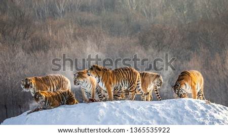Several siberian (Amur) tigers on a snowy hill against the background of winter trees. China. Harbin. Mudanjiang province. Hengdaohezi park. Siberian Tiger Park. Winter. Hard frost.  #1365535922