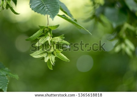 Beech tree  in summer in front of  green blurred background with immature beechnuts #1365618818