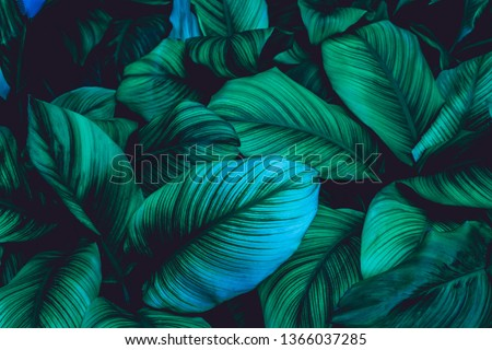 leaves of Spathiphyllum cannifolium, abstract green texture, nature background, tropical leaf #1366037285