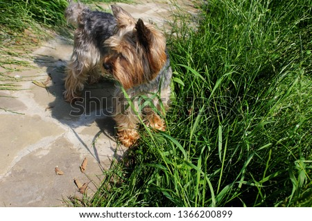 Photo puppy dog breed Yorkshire Terrier. Puppy Yorkshire Terrier for a walk. Dog on the background of green grass.