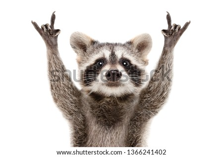 Portrait of a funny raccoon showing a rock gesture isolated on white background Royalty-Free Stock Photo #1366241402