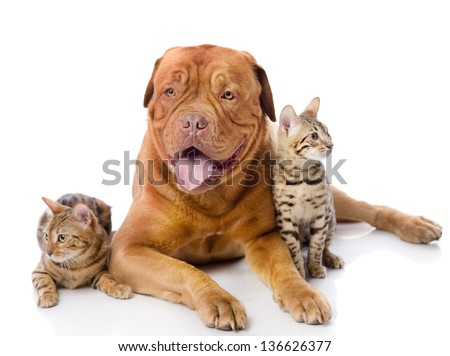 Dogue de Bordeaux (French mastiff) and two leopard cats (Prionailurus bengalensis). looking at camera. isolated on white background #136626377