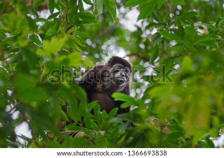 Mantled howler(Alouatta palliata), or golden-mantled howling monkey feeding leaves on a tree in Tortuguero National Park, Costa Rica. #1366693838