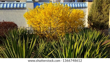 Forsythia low shrub having bright yellow flowers in spring. Forsythia bush bloom. Yuccas in front of Forsythia shrub producing clusters of golden yellow flowers in April. #1366748612