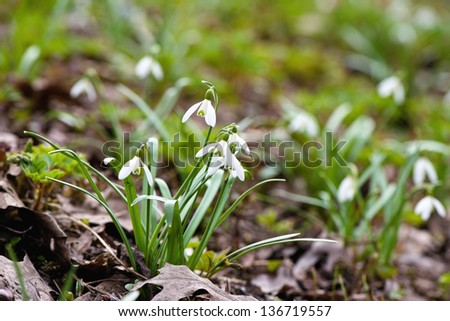 Snowdrops in early spring with blured background #136719557
