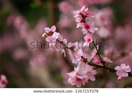 Beautiful peach blossom  #1367219378