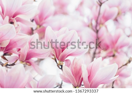 Spring floral background. Beautiful light pink magnolia flowers in soft light. Selective focus