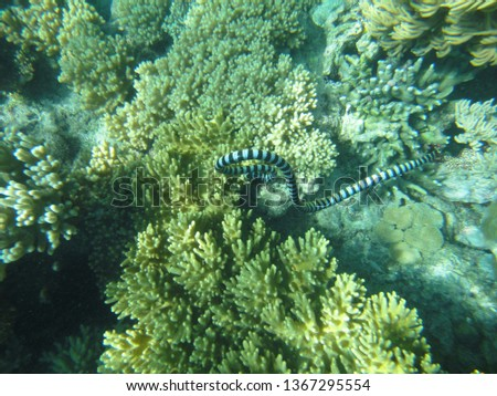 SEA SNAKE/APO ISLAND/PHILIPPINES-JUNE 2012: Sea snake is swimming in the reef #1367295554