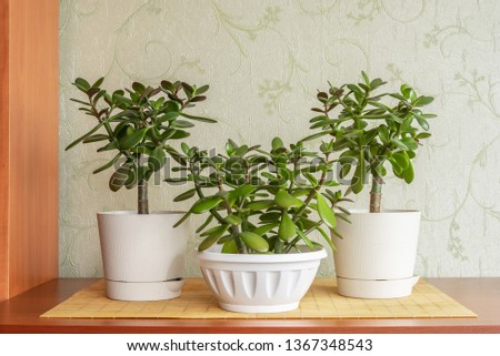 Succulent houseplant Crassula ovata in a pot on rustic background #1367348543