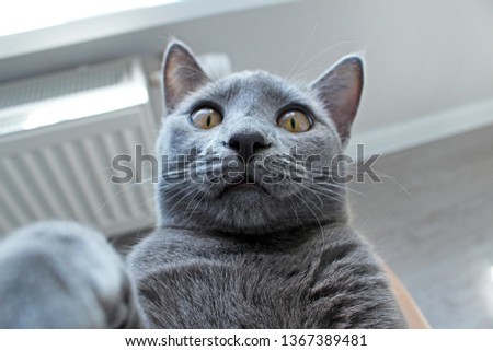Russian blue cat making selfie at home.