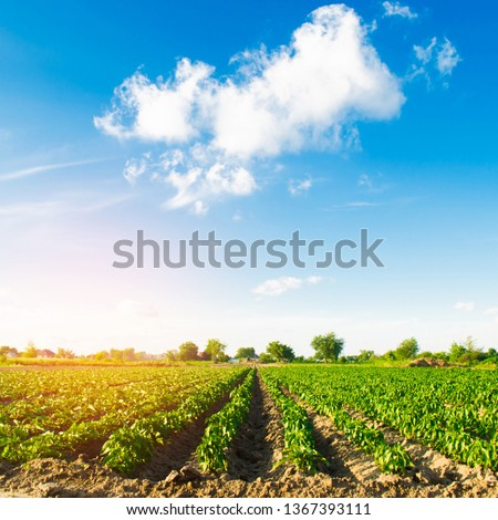 vegetable rows of pepper grow in the field. farming, agriculture. Landscape with agricultural land #1367393111