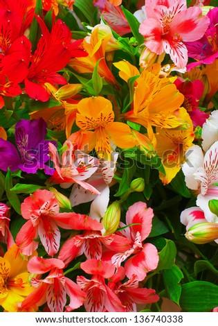 Lilium orientale Almeria. bouquet of colorful flowers. close up. #136740338