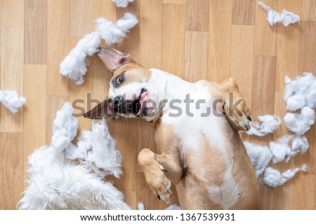 Playful dog among torn pieces of a pillow on the floor, top view. Funny staffordshire terrier having fun destroying homeware #1367539931