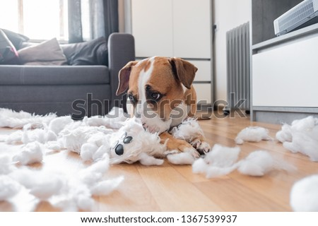 Guilty dog and a destroyed teddy bear at home. Staffordshire terrier lies among a torn fluffy toy, funny guilty look #1367539937