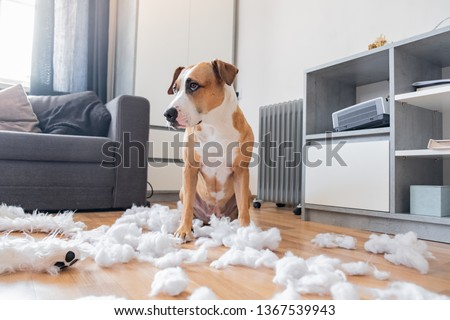 Guilty dog and a destroyed teddy bear at home. Staffordshire terrier sits among a torn fluffy toy, funny guilty look Royalty-Free Stock Photo #1367539943