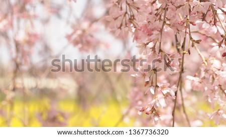 Japanese spring SAKURA #1367736320