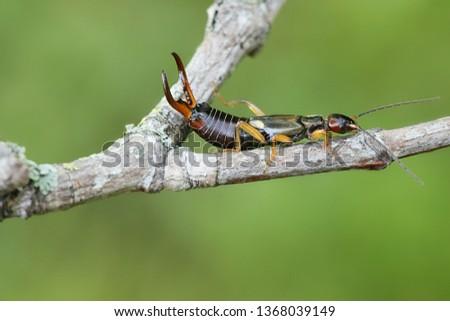 Forficula auricularia, the common earwig or European earwig