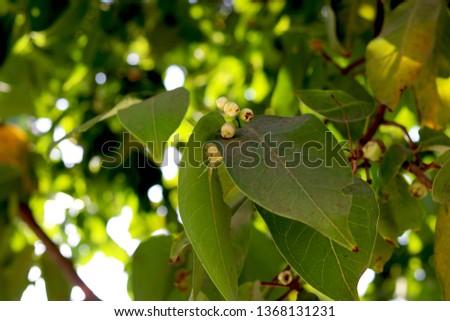 buds of White Jamun or Wax Jambu (Syzygium cumini) #1368131231