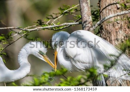 Great White Egret Pair in Courtship in Louisiana Rookery #1368173459