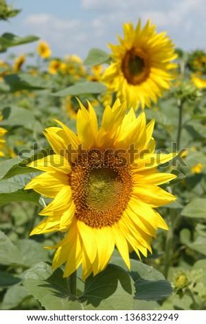 sunflower flowers against blue sky #1368322949