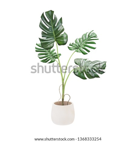 Decorative monstera tree planted white ceramic pot isolated on white background. Royalty-Free Stock Photo #1368333254