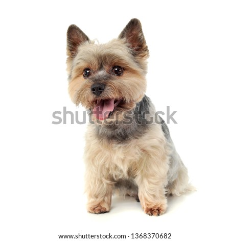 Studio shot of an adorable Yorkshire Terrier looking curiously  at the camera - isolated on white background. #1368370682