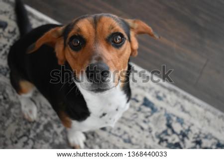 Cute Beagle Puppy #1368440033