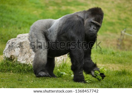 Western lowland gorilla (Gorilla gorilla gorilla). Wild life animal. #1368457742