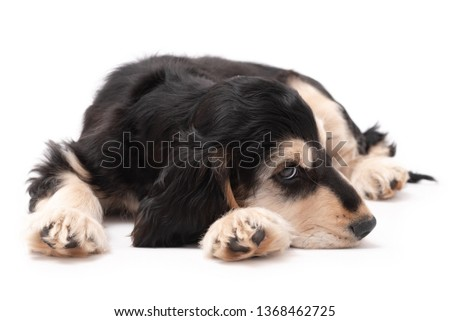 3 month old brown and tan colour English Cocker Spaniel puppy laying down isolated against a white background #1368462725