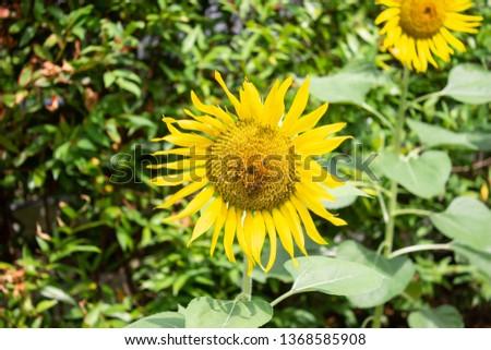many  mini in sect on big yellow sun flower  in republic garden #1368585908