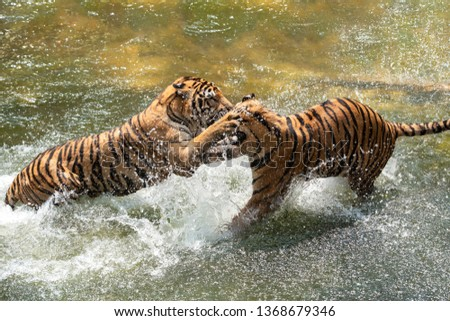 Two Siberian Tigers in fight with each other in the water. Royalty-Free Stock Photo #1368679346