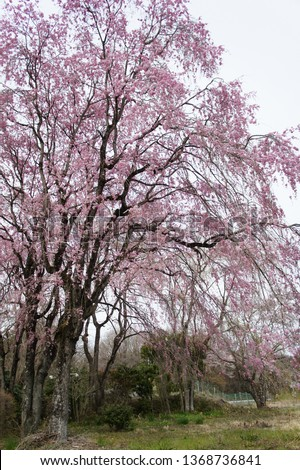 cherry blossoms on Japan #1368736841
