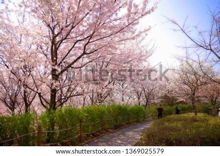 Spring Cherry Blossom #1369025579