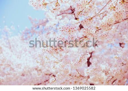 Spring Cherry Blossom #1369025582