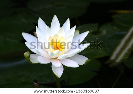 Beautiful white water lily flower in the lake .Nymphaea reflection in the pond #1369169837