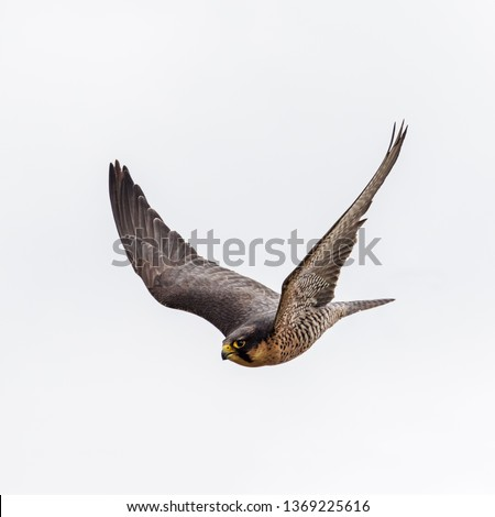 Lanner falcon with wings raised. A picture of a sleek lanner falcon in flight.