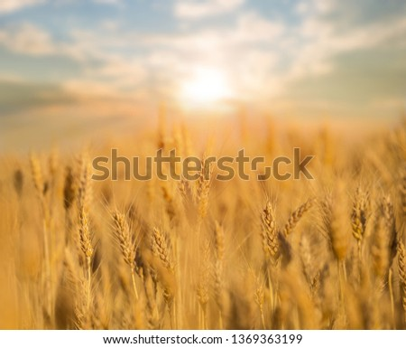 summer wheat field at the sunset, agriculture background #1369363199